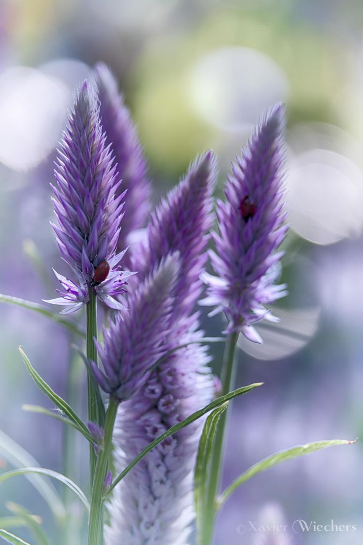 Spiked Speedwell...so lovely pin by Lucille Otto <by Xavier Wiechers on 500px.com>