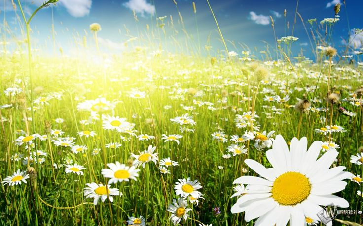Field Of Daisies For Desktop Pictures to Pin on Pinterest PinsDaddy