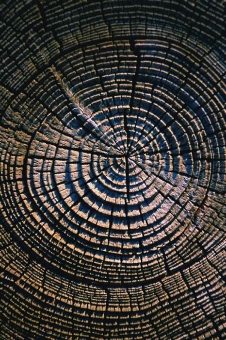 tree rings - When the trunk of a tree is cut off, it is easy to notice that there are dark circles. Each circle of this is called a growth ring. Each ring corresponds to one year of life.