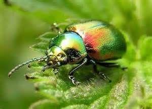 """Los escarabajos ( Coleópteros) son el grupo de insectos más grande en especies, comprende a catarinas, gorgojos, luciérnagas y por supuesto a los escarabajos. Su nombre  significa  """"alas en forma de estuche"""".CLASES PARTICULARES, FORMACIÓN, RECUPERACIÓN ACADÉMICA A DOMICILIO  Desde $350.00 dependiendo materia o nivel  #Matemáticas, #ClasesdeGeografía, #Geografía #Música,#AprobarMatemáticas,#ProfesoresParticularesMatemáticas, #TécnicasEstudioMatemáticas #ClasesParticulares #ClasesaDomicilio…"""
