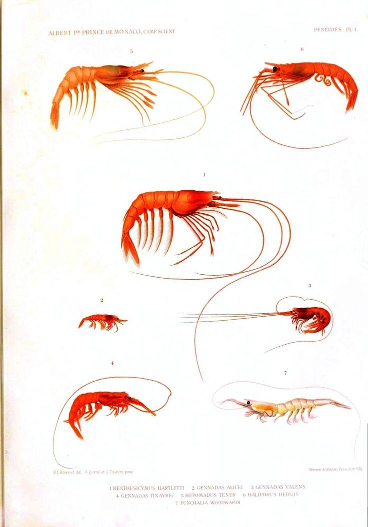 Animal - Crustacean - Educational plate, shrimp