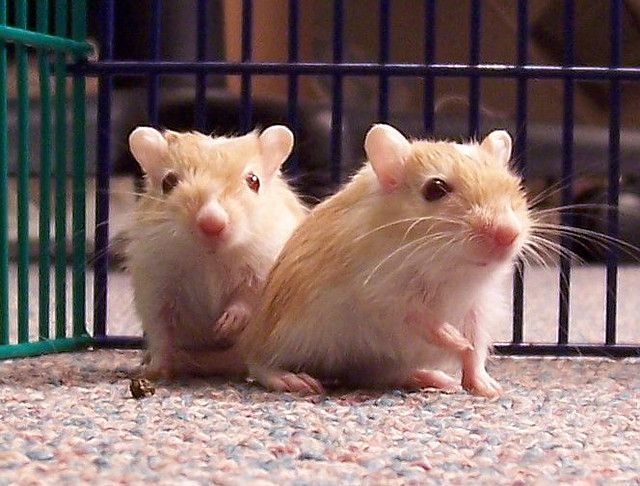 We got a little guy like this pair today. #Gerbils
