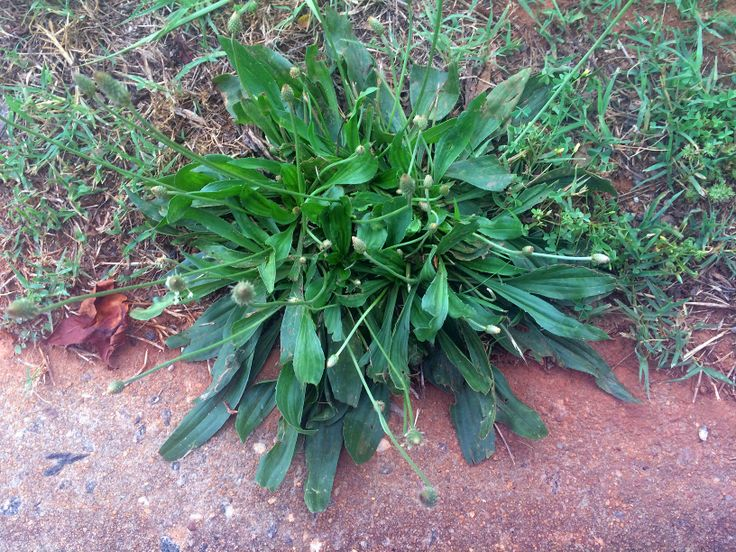 How To Make A Plantain Poultice – Heal Mosquito Bites, Poison Ivy Rash, Wounds, Eczema & More