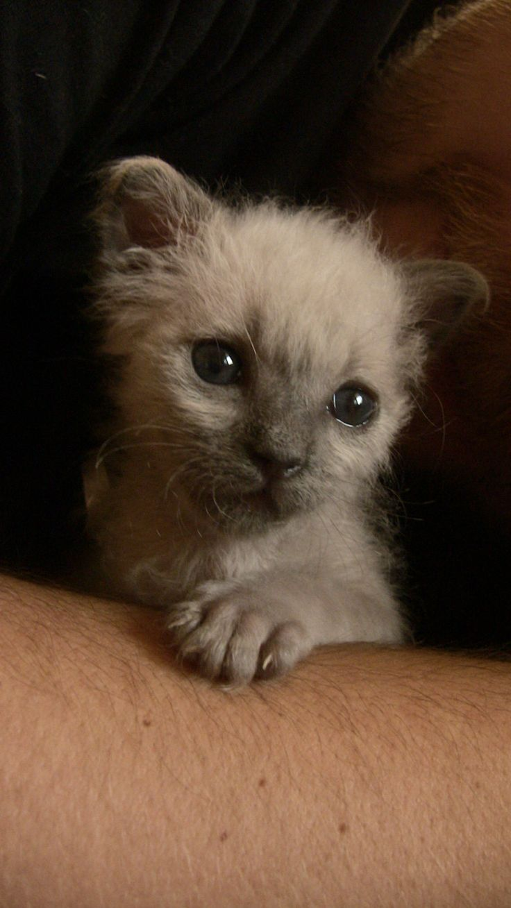 36 days alive! small kiten Ragdoll