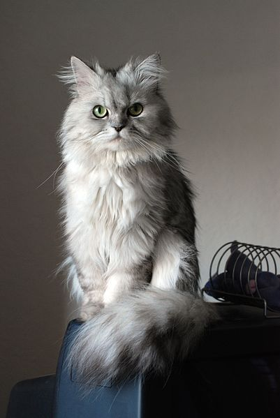 Doll face silver Persian - I love this face!  If I ever had a Persian or Himalayan cat, it would have to be the doll-faced type