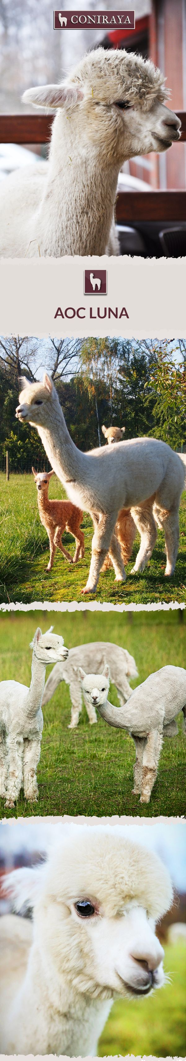 Meet Coniraya - AoC Luna. This Alpaca was born in 2014 and its fiber is in color: White. Check out more details on our site!