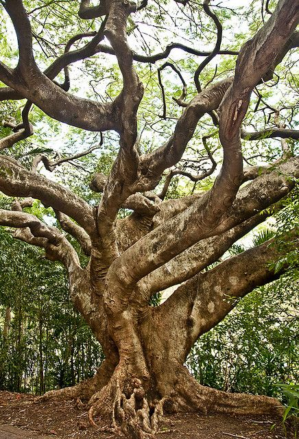 Ancient tree in Brisbane, Australia • photo: Roberto Portolese on Flickr