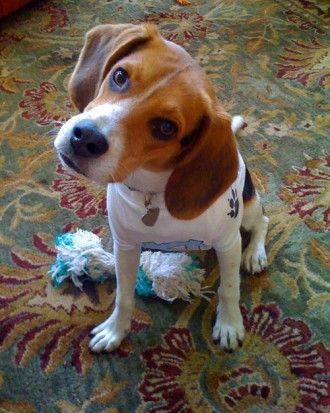 Proteger a mi perro de tos de las perreras. Una vacuna es la única manera de proteger a su mascota de la tos de las perreras o Bordetella, una enfermedad respiratoria altamente contagiosa que se propaga entre los perros a través de los estornudos y la saliva. la vacuna se debe dar cada año. Síntomas: persistente tos seca y secreción nasal - tardan dos semanas en desaparecer. Limitar el contacto con otros perros. Llevar a al veterinario para medicamentos que alivien los síntomas( 7 a 10…