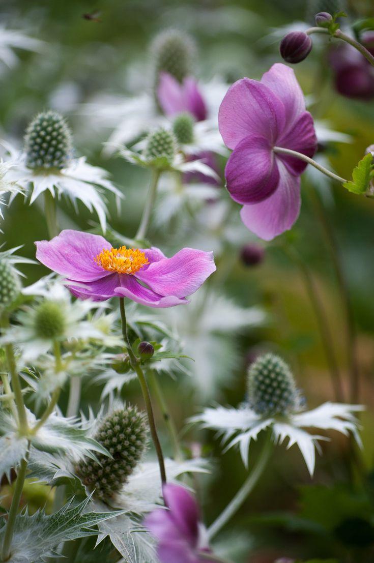 Cool combo: #Anemone #japonica & #Eryngium http://www.roanokemyhomesweethome.com
