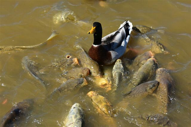 Breathtaking pic of a duck swarmed by fish
