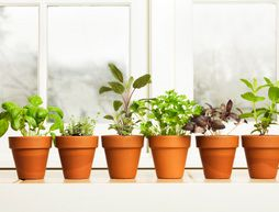 Planting a Windowsill Herb Garden -- Growing herbs indoors on a sunny