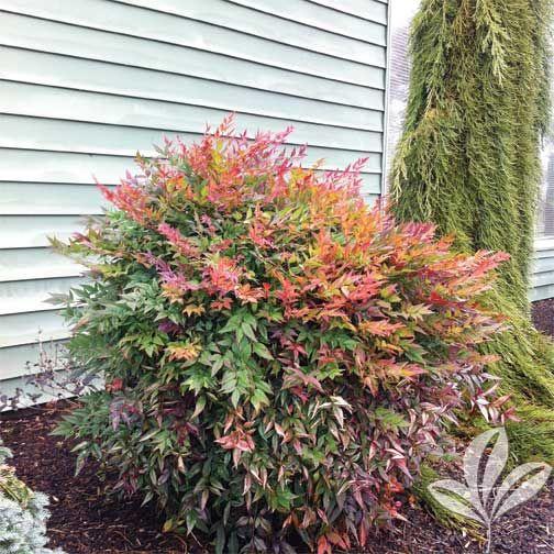 compacta nandina garden shrubs