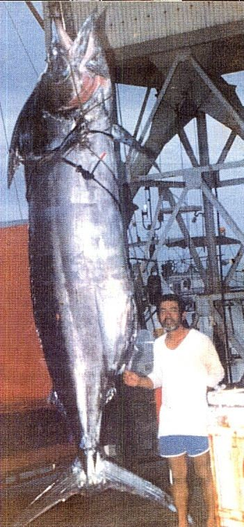 Largest Marlin Ever Caught- Hawaii Feast your eyes on this fish. Captured in Kona, Hawaii in 1984, this Pacific Blue Marlin weighed 1,656 pounds and was 17 feet long..