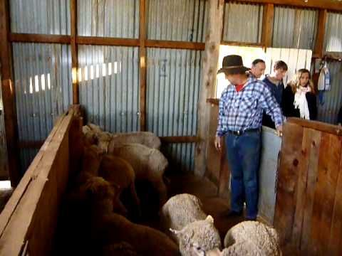 Get ready to shear, Bill enters the pen and chooses a sheep in the shearing shed. #Sydney #Australia #travel At Inglevale near Eugowra