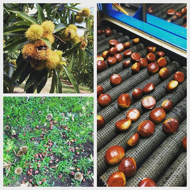 Chestnuts, from tree to ground to grading table! Please note Instagram is making changes. If you would like to continue getting updates, please go to the 3 dots, above right hand corner and select turn on notifications. Thank you, we appreciate you following us @stefanogmanfredi @myfoodbook @suedodd4 @sydneymarkets @austcheznuts @wandifulproduce #aussiechestnuts #chestnuts #freshproduce #lowgi #glutenfree
