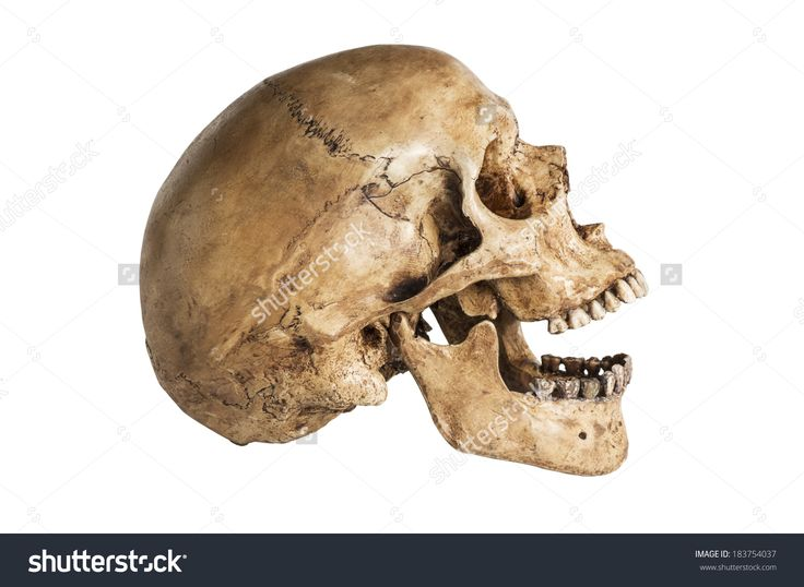 skull side view open jaw - Google Search