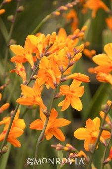 Monrovia's Columbus Montbretia details and information. Learn more about Monrovia plants and best practices for best possible plant performance.
