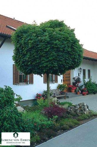 Les 25 meilleures id es de la cat gorie arbre erable sur pinterest erable japon rables - Arbre ombrage petit jardin argenteuil ...