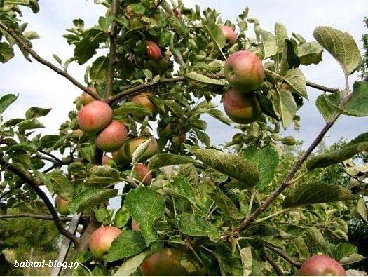 """Nie przesadzę chyba,  jeśli powiem, że jabłka u nas (w Polsce) jada się cały okrągły rok """"na surowo"""". I tak jest najzdrowiej. Ale również nie przesadzę, że u nas dużo jabłek się marnuje."""