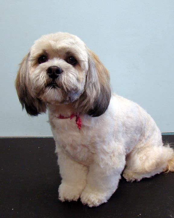 lhasa apso haircuts 114 best grooming tips images on 1562