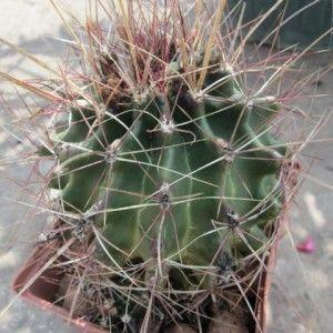 Hamatocactus hamatacanthus1