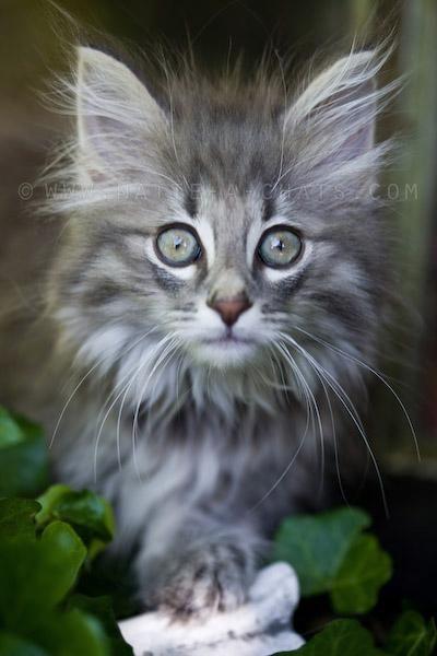 chaton-norvegien                                                                                                                                                                                 Plus