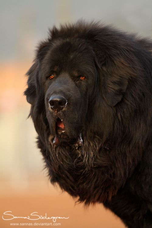 Impresionante Dogo Tibetano (by SaNNaS)