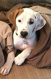 North Ridgeville, OH - Boxer/Beagle Mix. Meet Jackson, a puppy for adoption. https://www.adoptapet.com/pet/19378658-north-ridgeville-ohio-boxer-mix