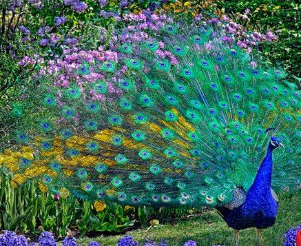 Peacock Facts: Some Interesting Facts about Peacocks You Never Want To Miss ~ Animal fun-facts