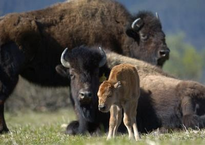 """""""A wood bison calf rests with female adults at the Alaska Wildlife Conservation Center in May. The center says the calf, born that month, is the first to be born in the state since they became extinct from Alaska in the late 1800s. There could be as many as five other wood bison cows that are pregnant as well. Though plains bison were transplanted to the Delta Junction area in the 1920s, there are no wood bison in the wild in Alaska."""""""