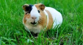 Pesquisa Como comprar um porquinho da india. Vistas 2336.