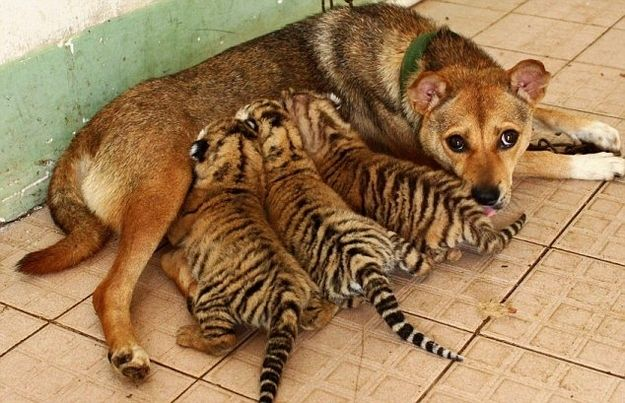 this mama doggy is sharing her milk with tiger cubs... amazing!