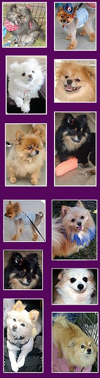 Home Page OFFICIAL SITE Southern California Pomeranian Rescue