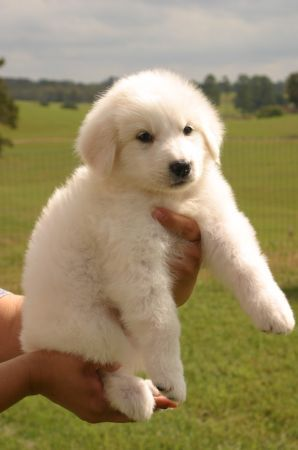 Great Pyrenees puppy :D <3 I got one of these on Sunday. It's a female and we named her BellaDonna (Bella for short) :)
