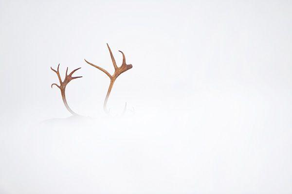 Photographie, Bois de renne sauvage, Norvège © Vincent Munier