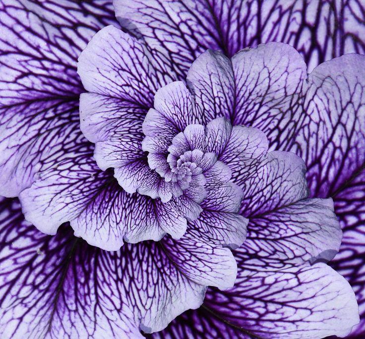 Lavender flower with purple veins