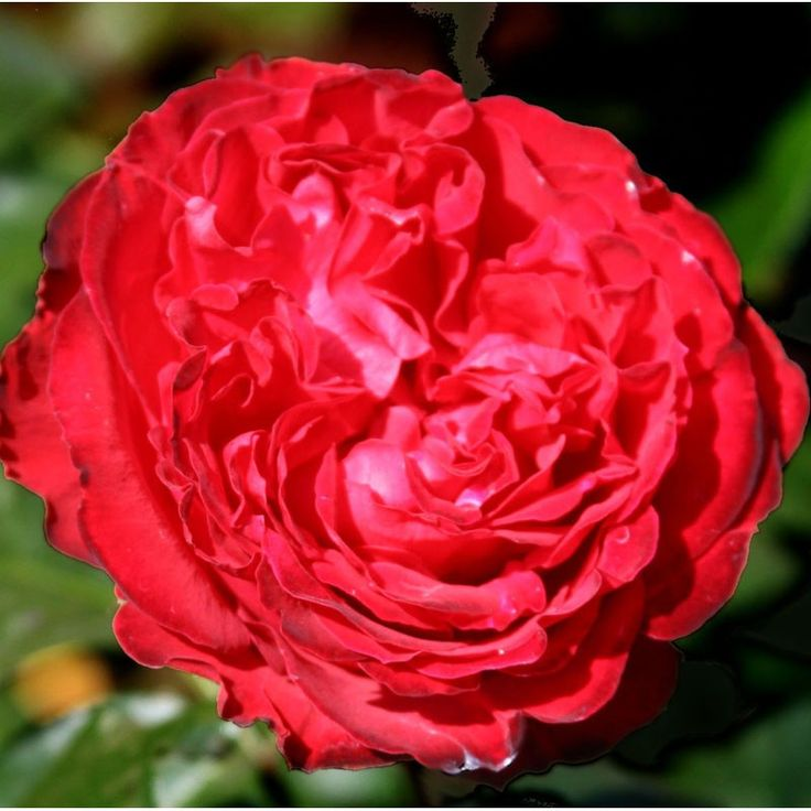 """Traviata™, This Dark Red, Darker Reverse rose with its cupped, old-fashioned, quartered bloom born in clusters makes a great cut flower. Medium, armed with thorns / prickles, upright. Large, semi-glossy, dark green, dense foliage.  2.75"""" Bloom, Fully Double Blooms, Continual Blooming"""