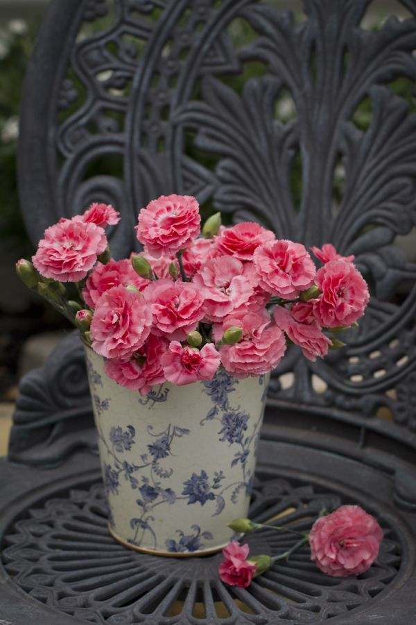Dianthus 'Romance' • Cut flowers for posies and vases