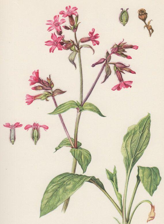 1954 Red Campion Vintage Botanical Print Lithograph Melandrium
