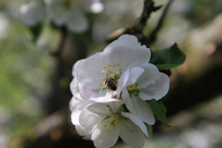 Bees in mother's garden!Mothers Gardens