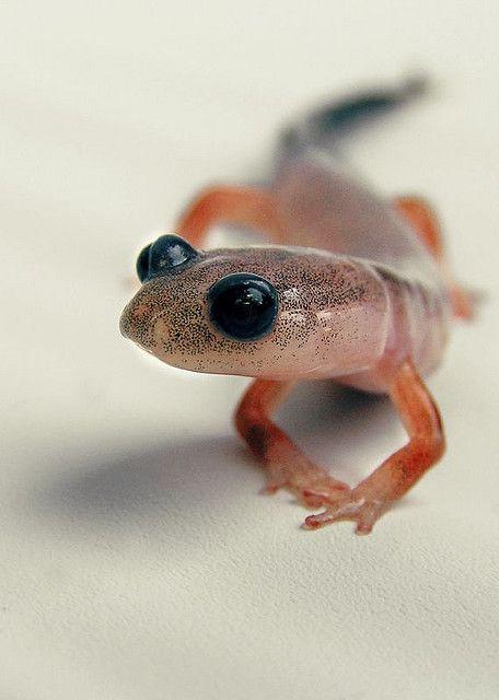 @Caroline Hinkley would love him!  (Leucistic Salamander)