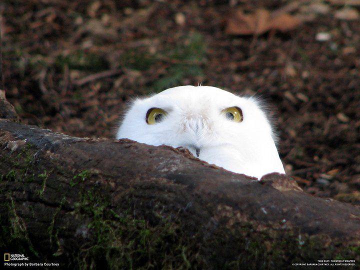 well helloCute Animal, Animal Baby, Logs, Peek A Boos, Snowy Owls, Baby Animal, Peekaboo Owls, Community Post, Beautiful Creatures
