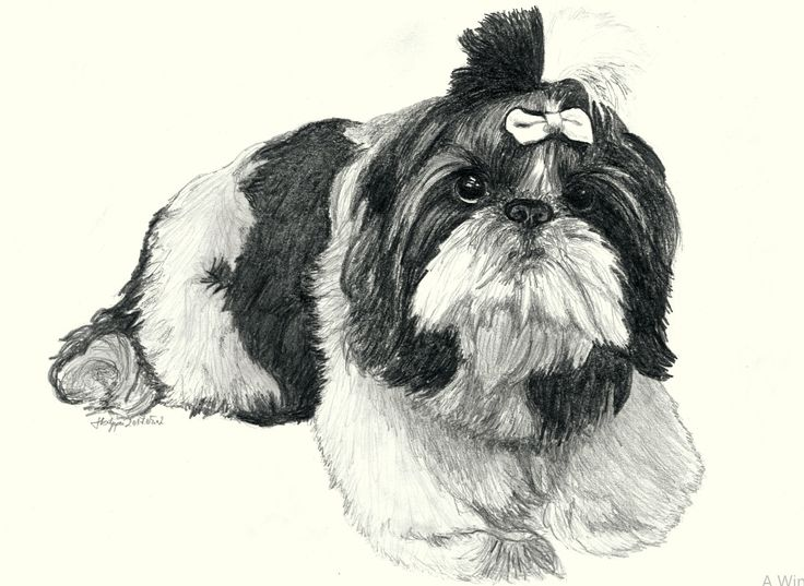 little dog pencil portrait