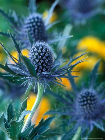 Blue sea holly - a member of the parsley / carrot family, and 'class' of the thistle.