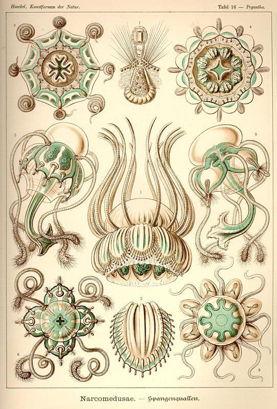 "Plate 16 'Narcomedusae' from ""Kunstformen der Natur"" (1899-1904) by German naturalist & artist Ernst Haeckel (1834-1919). via caliban"