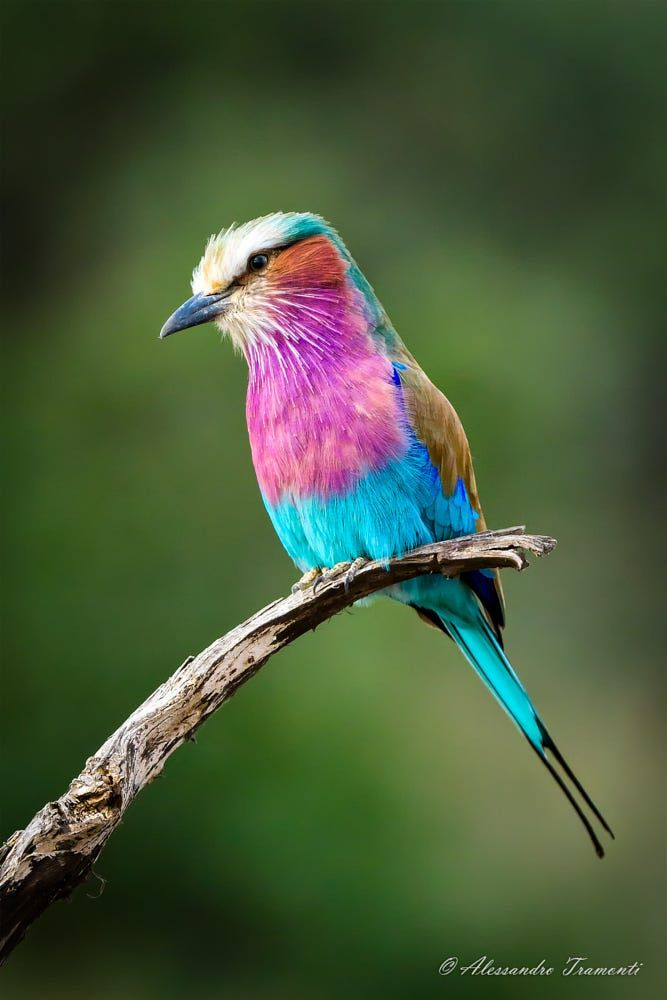 Lilac breasted roller - by Alessandro Tramonti