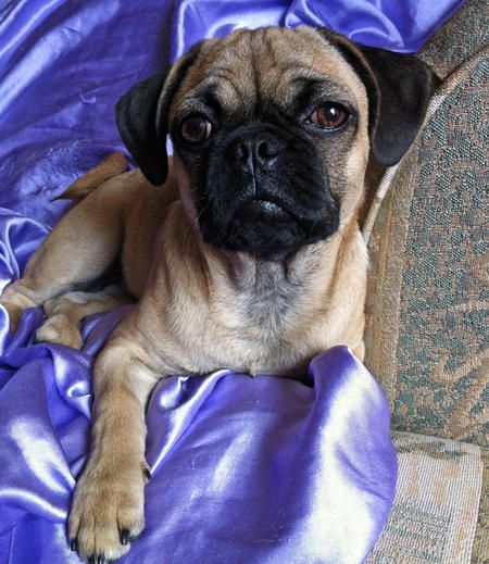 Dog Breed That Looks Like A Rug: Best 20+ Pug Mixed Breeds Ideas On Pinterest
