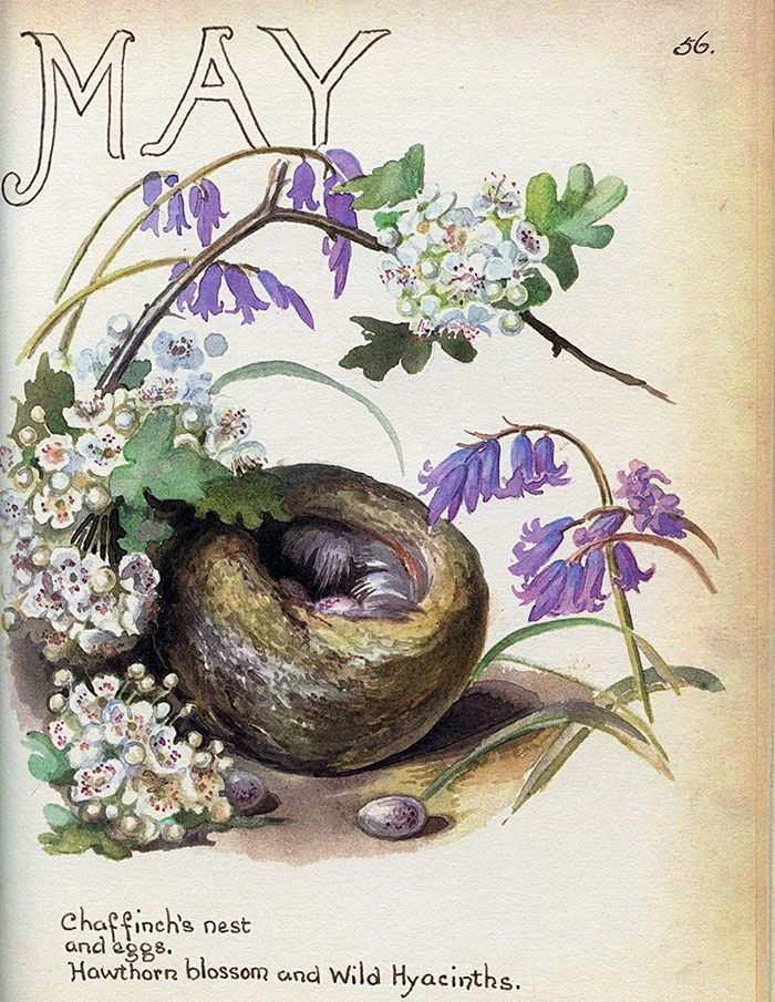 Chaffinch nest, May 1906 ~ Edith Holden