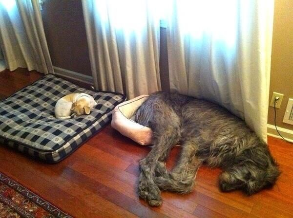 Are you sure this is my bed?: Dogs Beds, Big Beds, Small Dogs, Silly Dogs, Pet, Irish Wolfhound, So Funny, Little Dogs, Big Dogs