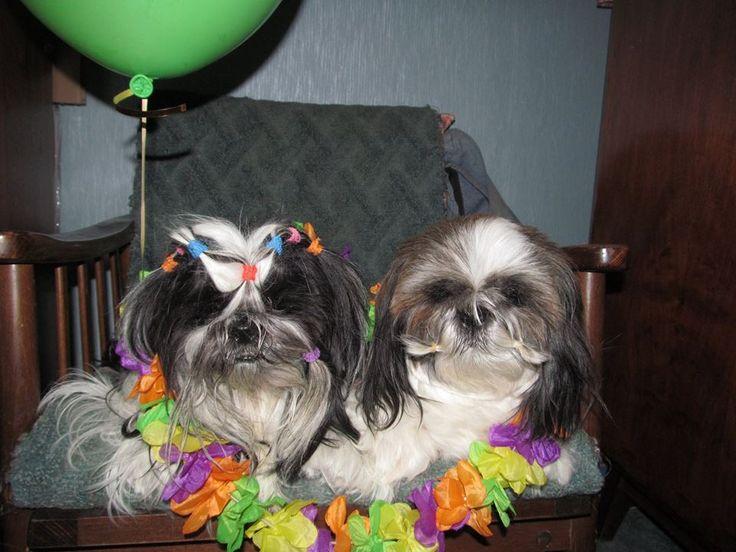 Гавайская вечеринка у ши-тцу Ники и Клёпы